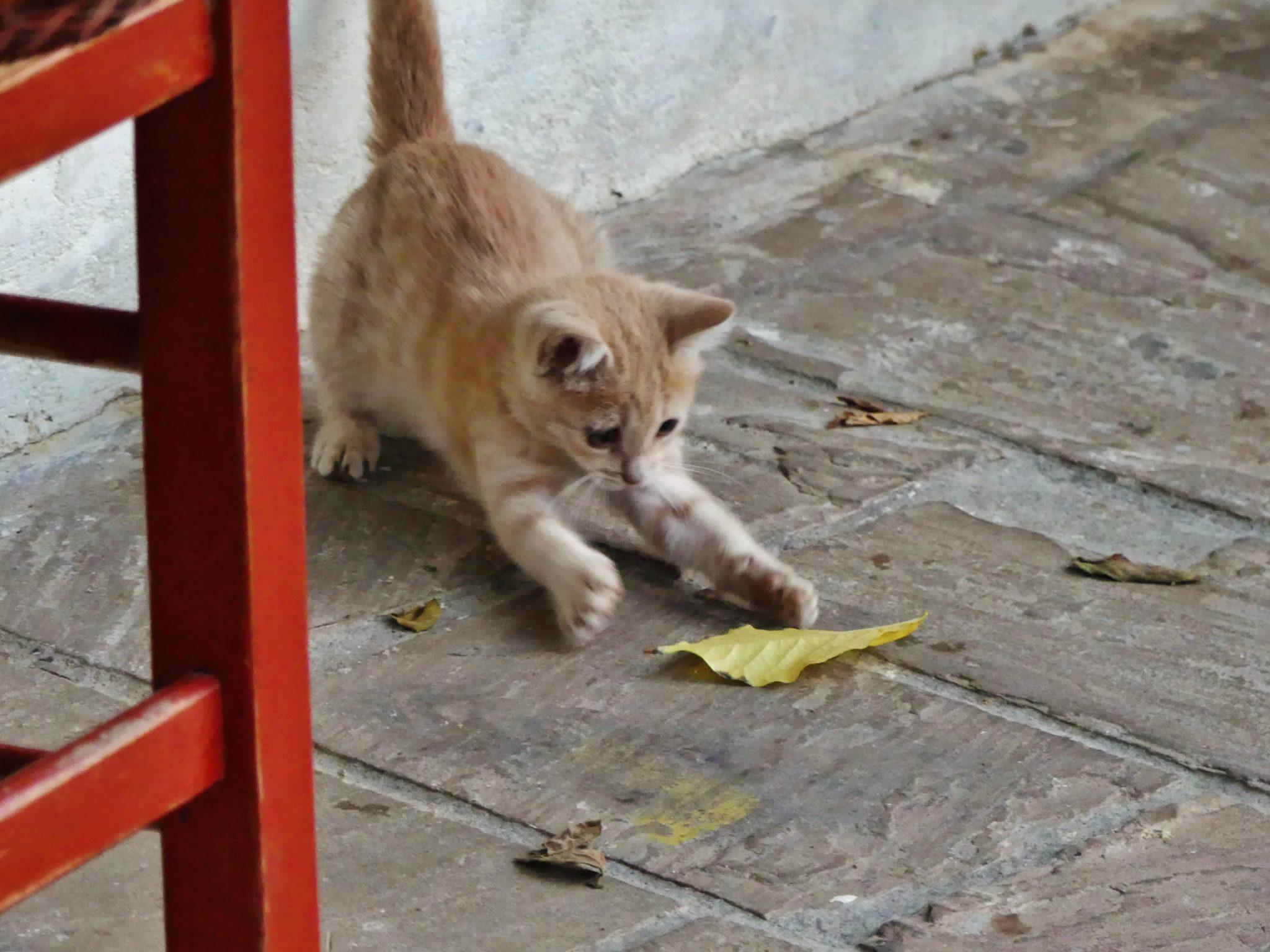 pet animal cat essay
