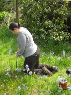 Using a handmade cupin to harvest camas bulbs