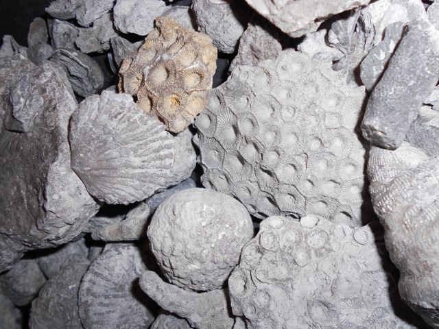 Earth Week Plus Expo & Adventures Earth Day Northern Michigan » Common Fossils of Michigan