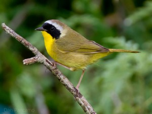 799px-Common_Yellowthroat_by_Dan_Pancamo