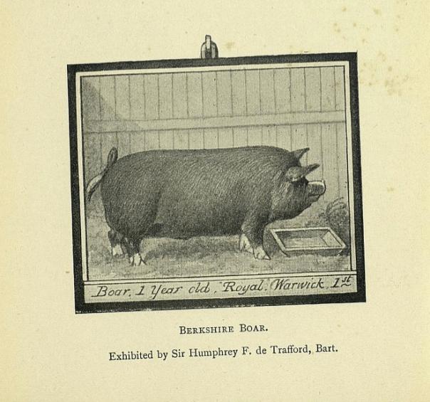 Pig 4