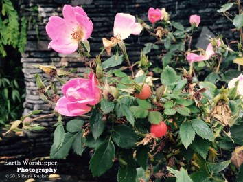 Wild Roses in Fall