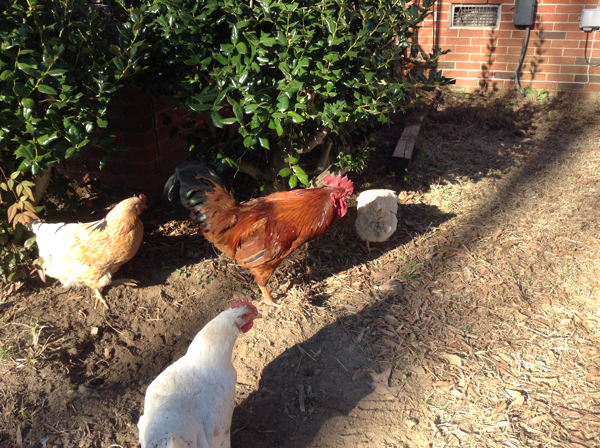 5 benefits of raising chickens why more people should easily