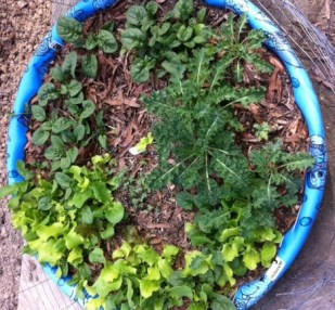 Salad Garden in a Container