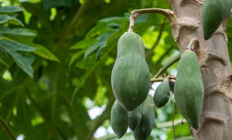 Sakhipur village Papaya garden