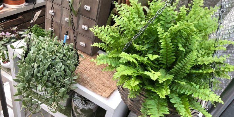 吊り植物のオススメ