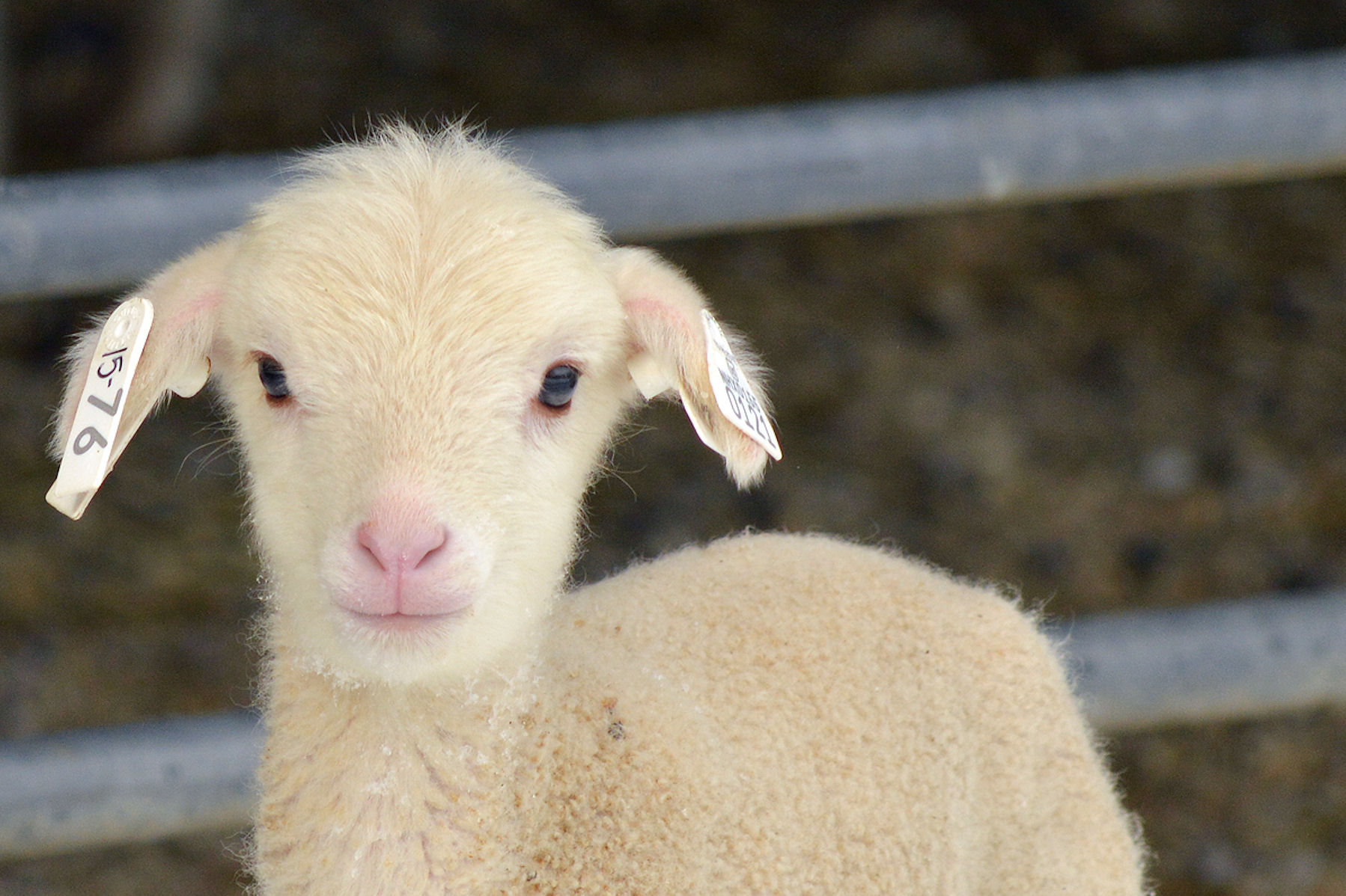 Loveable Lambs And Cuddly Kids The Inn At East Hill Farm