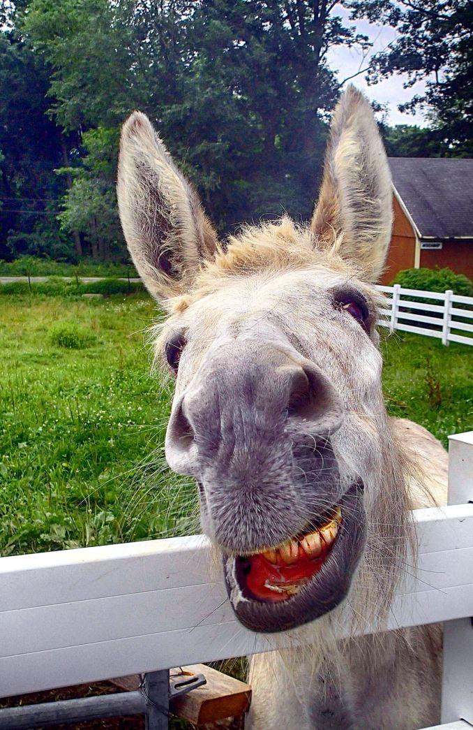 Summer Donkey Smiling – edited – The Inn at East Hill Farm