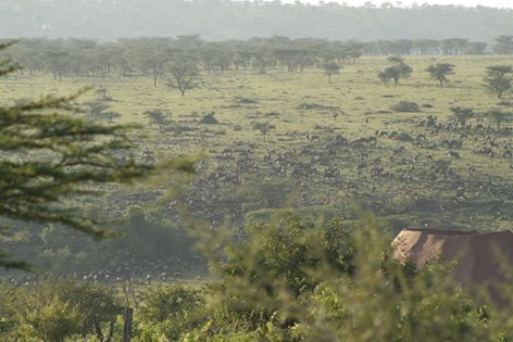Wildebeest migration near the lodge