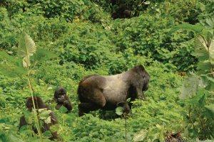 Silverback Gorilla - Gorilla Trekking Bwindi