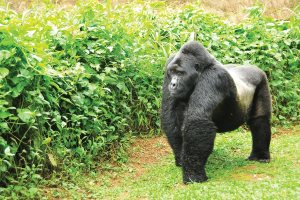 Silverback Gorilla - Uganda Rwanda Combined Safari