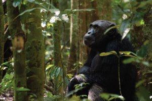 Kibale Forest National Park Chimpanzee Trekking Uganda Safari