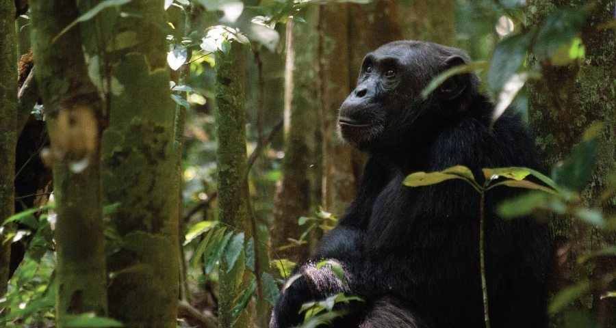 Kibale Forest National Park Chimpanzee Trekking Uganda Safari