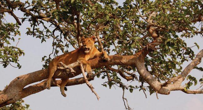 Queen Elizabeth National Park - Tree Climbing Lions