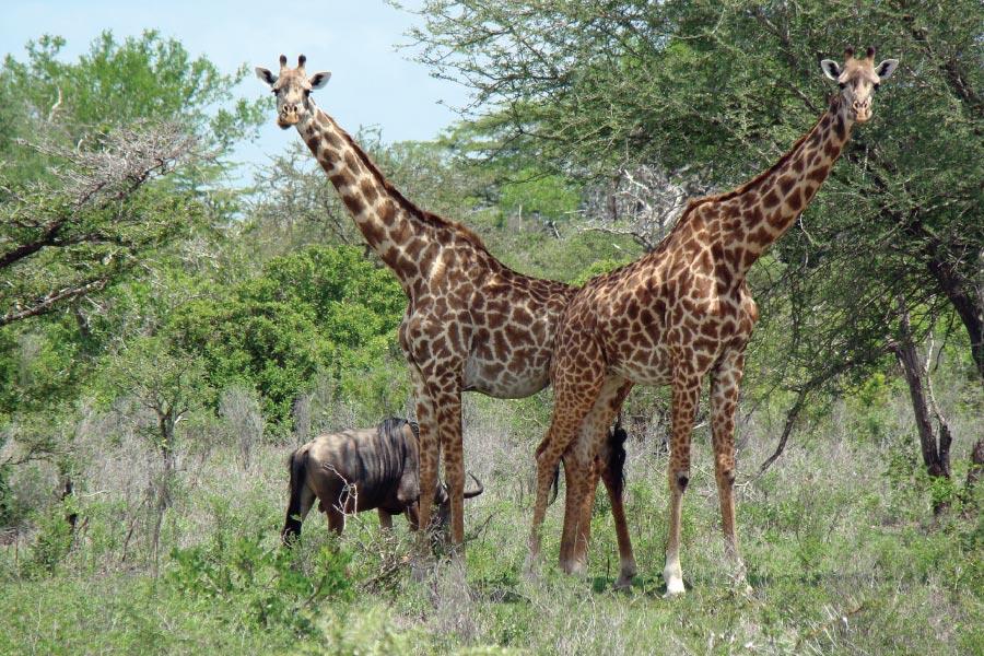 Selous Game Reserve Giraffes