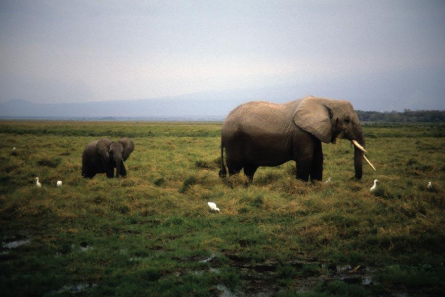 Amboseli National Park Elephants