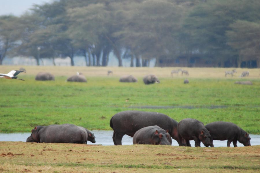 Amboseli National Park Hippos
