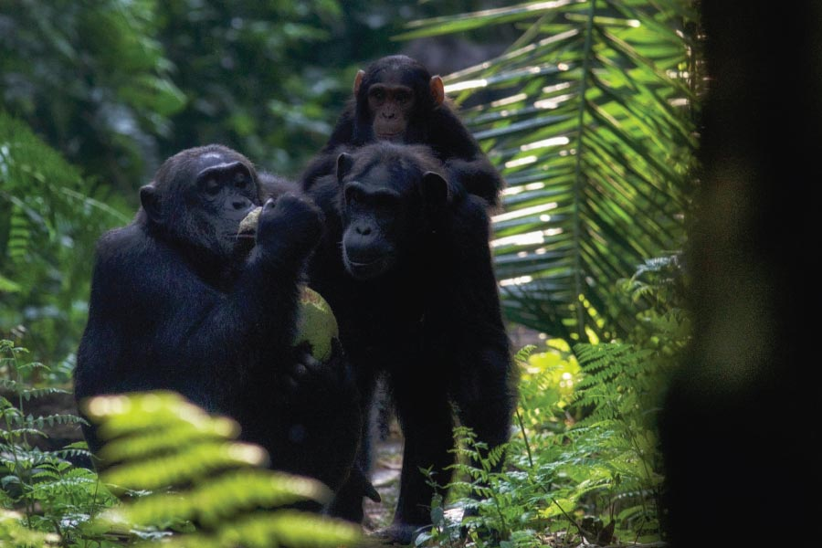 Kibale Forest National Park, Chimpanzee Trekking, Tracking Chimps, Uganda Primates Safari