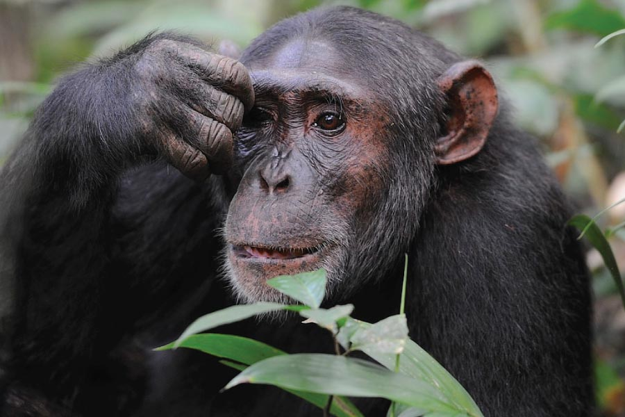 Kibale Forest National Park, Chimpanzee Trekking, Tracking Chimps, Uganda Primates Safari - Chimps Tracking