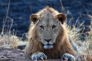 Lions of Kidepo Valley National Park, Savanna Wildlife Safari