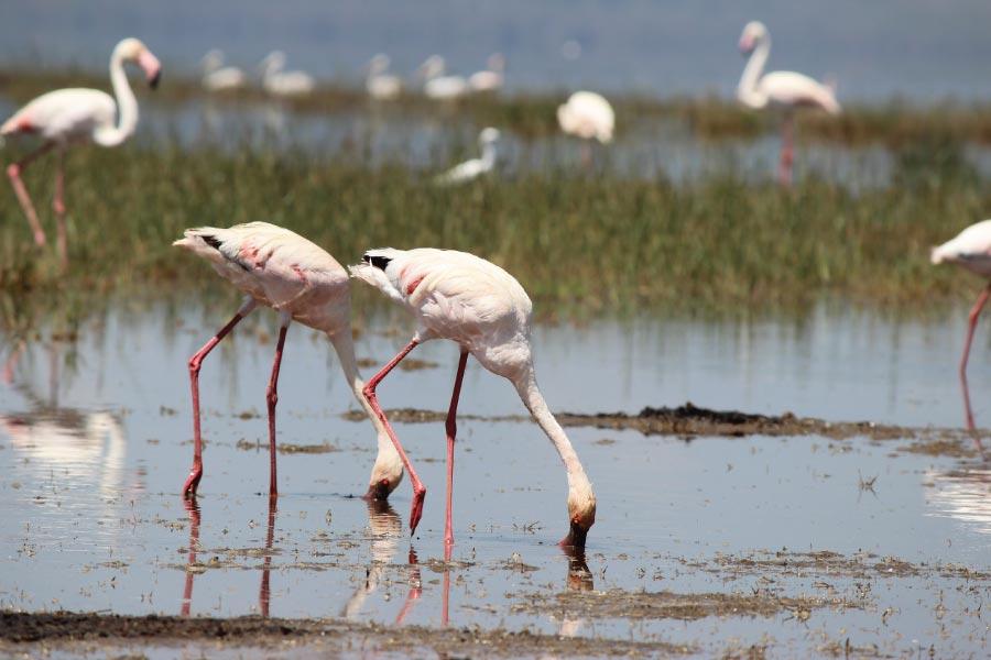 Lake Baringo Kenya Pelicans