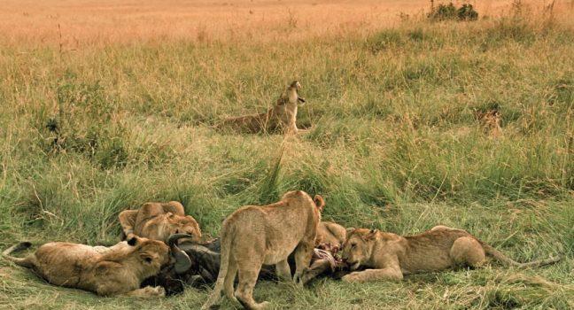 Masai Mara National Reserve Lions