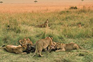 Kenya Safari - Masai Mara National Reserve Lions