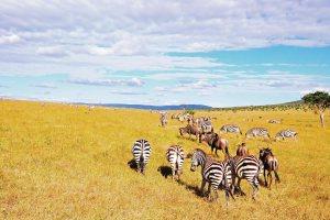 Kenya Masai Mara Safari - Kenya Vacation Holiday Safari - Masai Mara National Reserve savannah wild