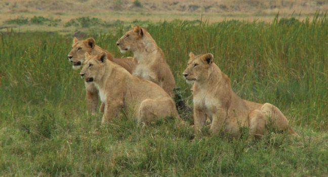 Kenya Safari Masai Mara National Reserve Lion Pride