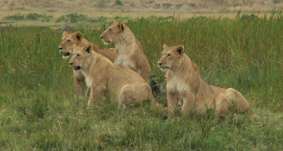 Kenya Safari - Masai Mara National Reserve lion pride
