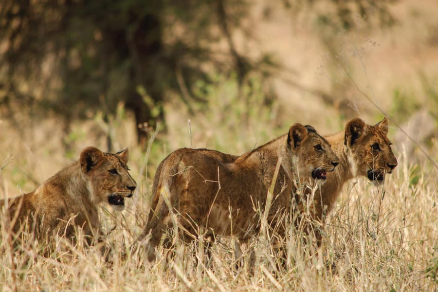 Lions on Murchison Falls Safari - BIG 5 SAVANNA SAFARI