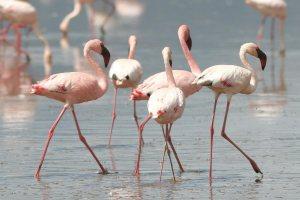 Lake Nakuru Flamingos - Kenya Safari