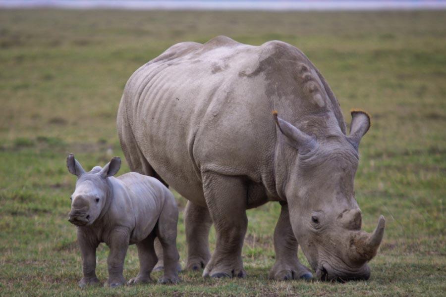 Lake Nakuru National Park Rhinos