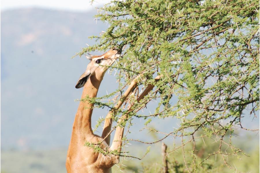 samburu national reserve kenya