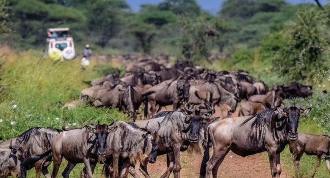 Serengeti National Park Wildebeest Great Migration