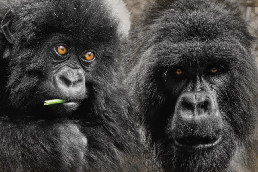 Rwanda Gorilla & Golden Monkey Safari