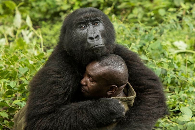 Orphaned Gorillas Wow Onlookers As They Embrace Their Keeper