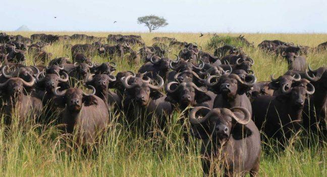 Uganda Safari Tours