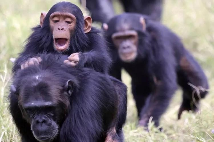 Ol Pejeta Chimpanzees