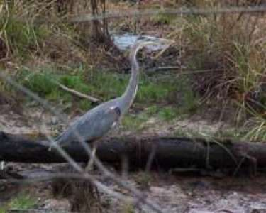 Great Blue Heron at roadside beaver pond