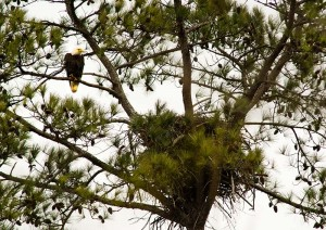 Bald-eagle-nest-1West Point AL