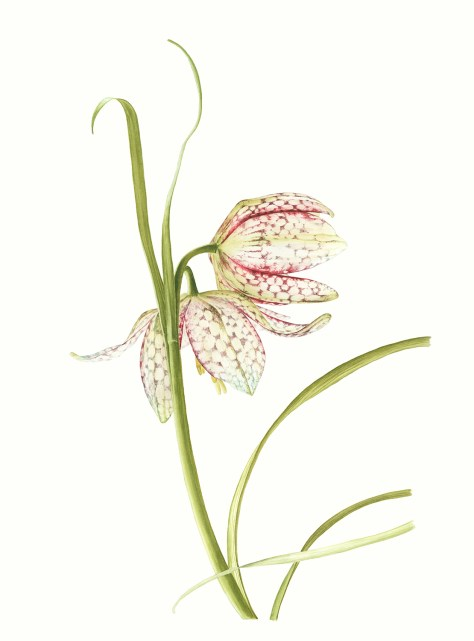 Rosemary's Brushes Award - Fritilary by Amanda Caldwell
