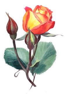 Rose. Watercolour by Denise Schoenberg