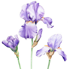 Trio of Irises. Watercolour by Denise Schoenberg