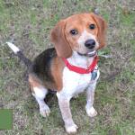 Atlanta Beagle Rescue