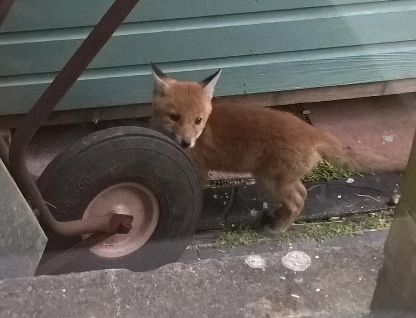 foxcub by wheelbarrow