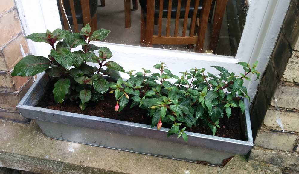 window box fuchsias