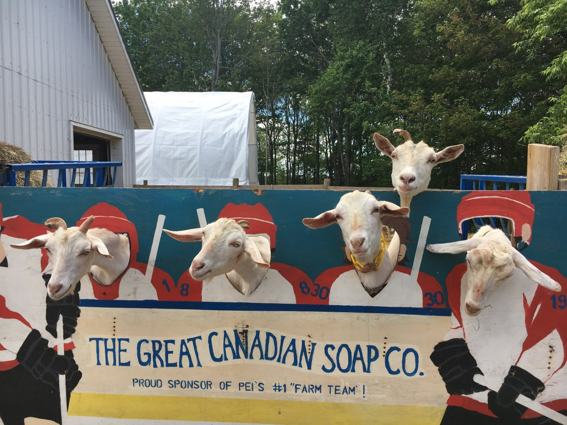 east coast mermaid PEI great canadian soap co. goats
