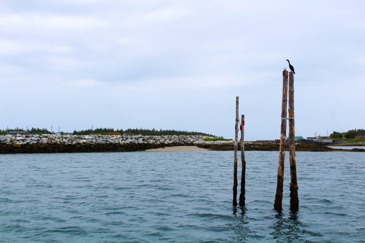 White Head Island Cormorants
