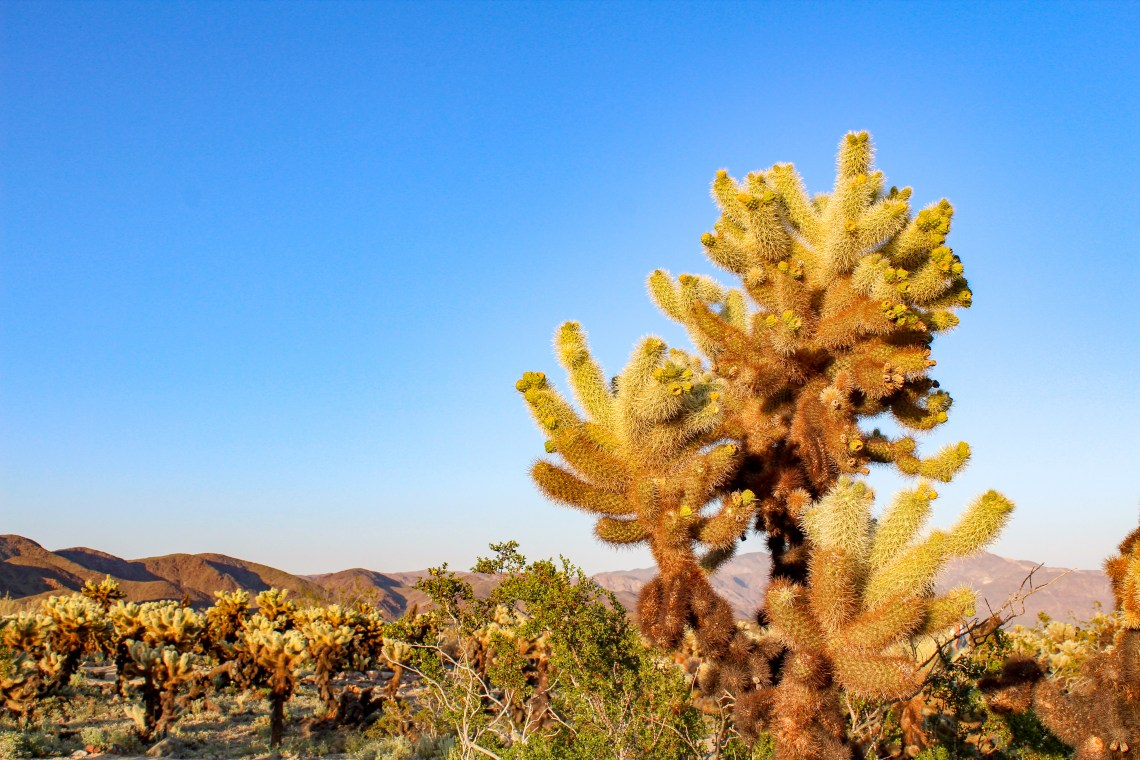 Cholla Cactus Garden - Joshua Tree National Park - 2
